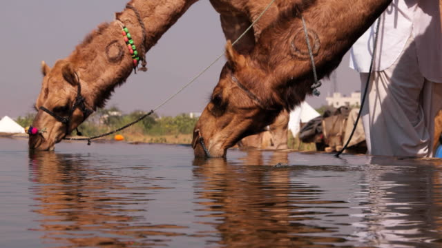Camel herds and traders bring camels to the watering pool for them in Pushkar Camel Festival in Rajasthan