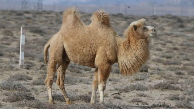 camel in gobi desert - camel stock videos & royalty-free footage