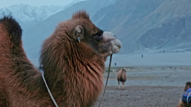 camel is waiting for tourists in hunder desert , nubra valley , leh ladakh india - monastery stock videos & royalty-free footage
