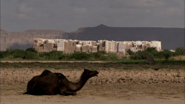 a camel lying down in the desert chews it's food. - yemen stock videos and b-roll footage