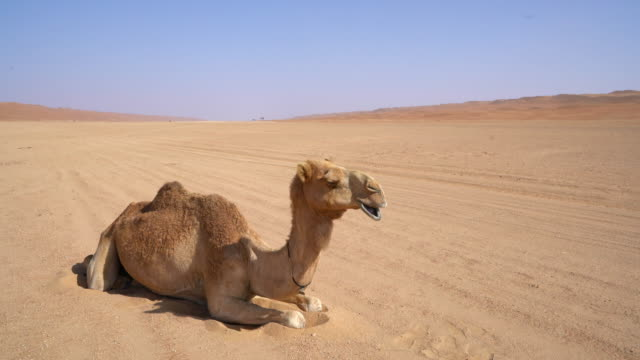 ws camel lying on sand in the desert - animal stock videos & royalty-free footage