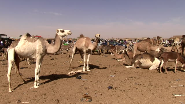 Camel market Niger Agadez