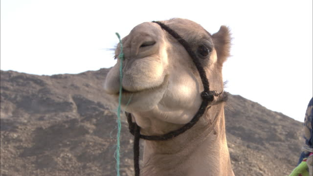 a camel moves its mouth back and forth to chew. - 馬勒点の映像素材/bロール