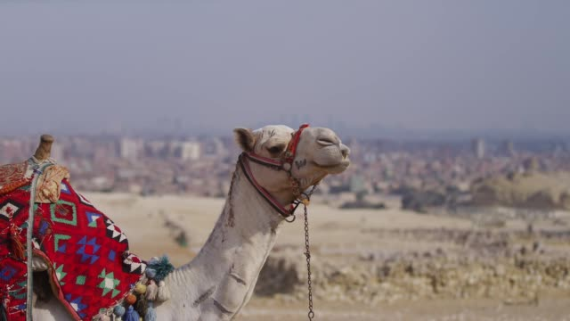 a camel on the desert in cairo, egypt - north africa stock videos & royalty-free footage