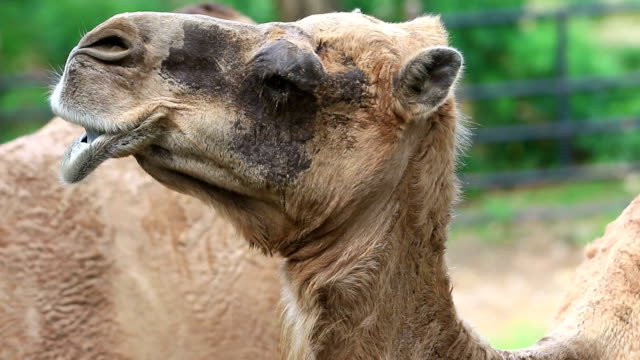 camel portrait - camel stock videos and b-roll footage