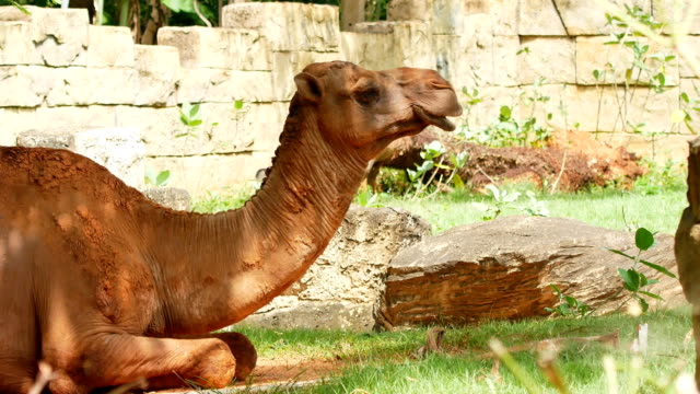 camel relaxing - camel stock videos & royalty-free footage