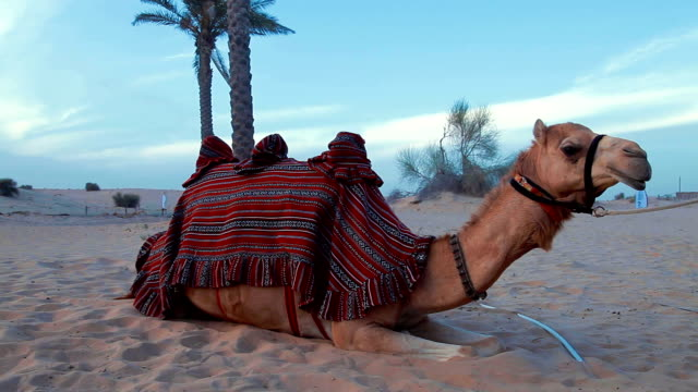 camel resting in the desert - historical palestine stock videos & royalty-free footage