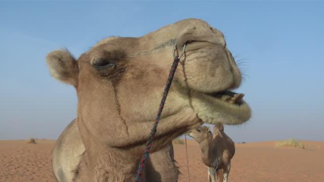 CU Camel ruminating / Atar, ADRAR, Mauritania