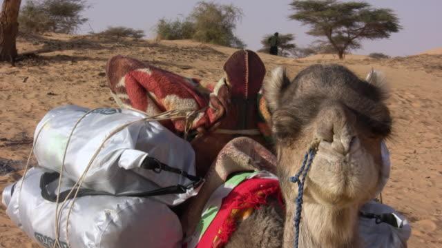 cu camel sitting on sand dunes in desert / chinghetti, adrar, mauritania - herbivorous stock videos & royalty-free footage