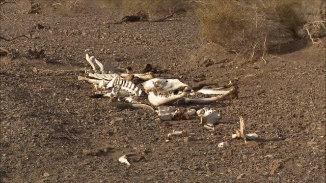 camel skeletons in the gobi desert - tierisches skelett stock-videos und b-roll-filmmaterial