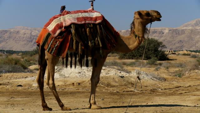 ms camel standing in desert / judea desert, israel - arbetsdjur bildbanksvideor och videomaterial från bakom kulisserna