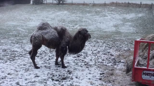 a camel stands in the snow in gateshead tyne and wear as people enjoy the weather by the angel of the north - angel of the north stock videos and b-roll footage