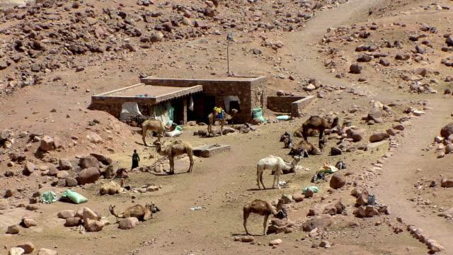 ws ha camel stop at foot of mount sinai, egypt - sinai egitto video stock e b–roll