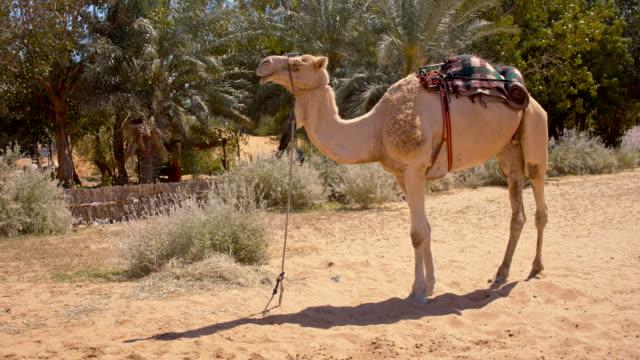 vídeos y material grabado en eventos de stock de liado camellos en el desierto - oasis desierto