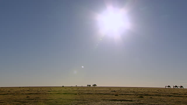 ws pan camel train walking across sun with open landscape / boulia, queensland, australia - arbeitstier stock-videos und b-roll-filmmaterial