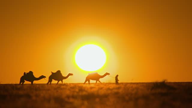 MS Camel train walking across sunset / Boulia, Queensland, Australia
