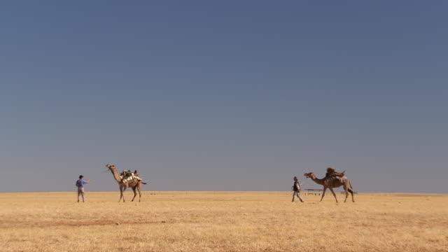 WS Camel train walking on landscape/ Boulia, Queensland, Australia