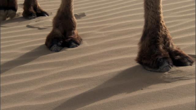 camel train walks over dunes, taklamakan, - fußabdruck stock-videos und b-roll-filmmaterial