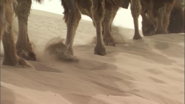 camel train walks over dunes, taklamakan, - menschliche gliedmaßen stock-videos und b-roll-filmmaterial