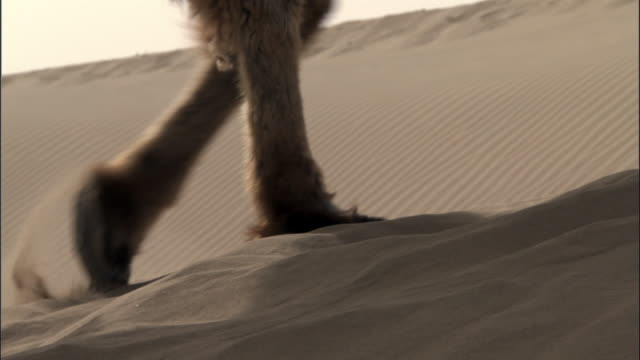 camel train walks over dunes, taklamakan, - ラクダ点の映像素材/bロール