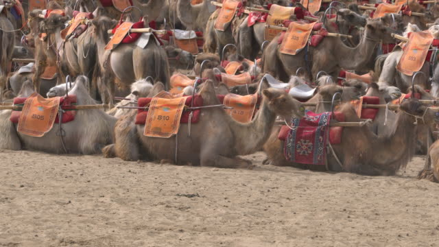 camel trains resting on gobi desert - minority groups stock videos & royalty-free footage