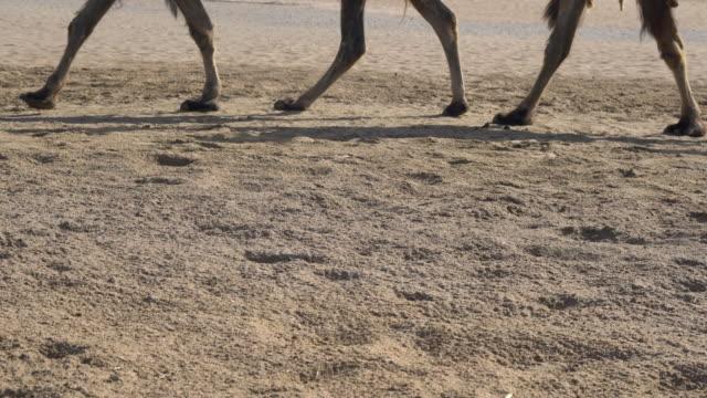 camel trains walking on gobi desert - fußabdruck stock-videos und b-roll-filmmaterial
