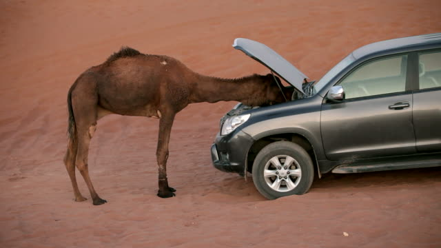 vidéos et rushes de camel trying to repair four wheel drive car - stationary