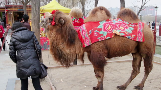 vídeos y material grabado en eventos de stock de ms camel use for joint photo with tourist in park during chinese spring festival / xi'an, shaanxi, china - animales de trabajo