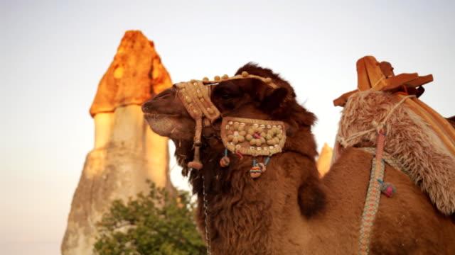 vidéos et rushes de camel - bouche des animaux