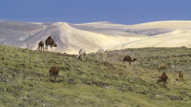vídeos de stock, filmes e b-roll de camel - jerusalém