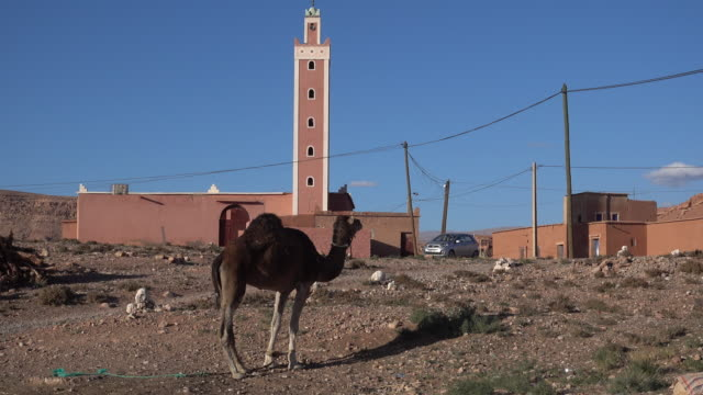 camel waits in front of minaret - minaret stock videos & royalty-free footage