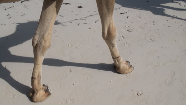 vídeos y material grabado en eventos de stock de ms ts camel walking on white sandy beach only legs and feet at mombasa coast audio / mombasa, coast province, kenya - parte del cuerpo animal