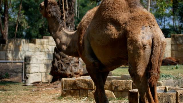 camel walking - camel stock videos & royalty-free footage
