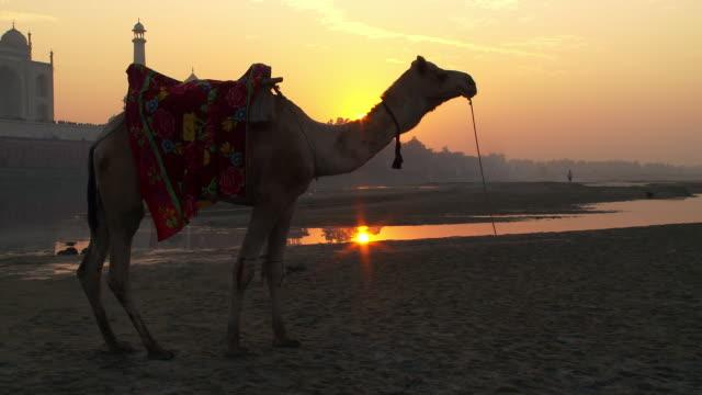 camel with the sunset and taj mahal in the background. - arbetsdjur bildbanksvideor och videomaterial från bakom kulisserna