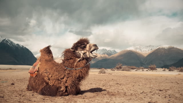 Camel bostezando en nubra valley leh ladakh india