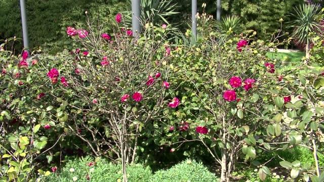 stockvideo's en b-roll-footage met camellia bushes - bedektzadigen