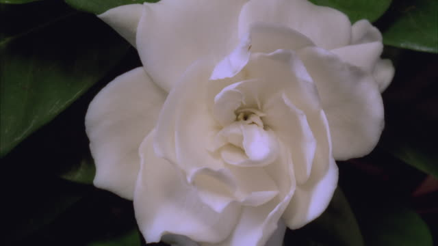 T/L, CU, Camellia flower opening and withering