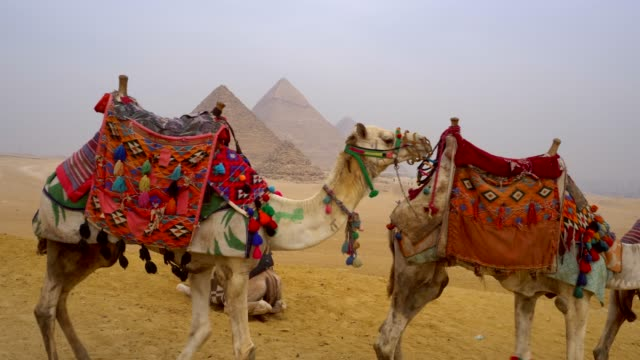 camels and pyramids at giza in egypt. - famous place stock videos & royalty-free footage
