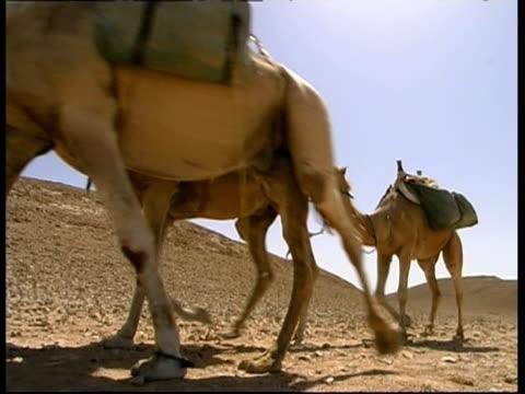 vídeos y material grabado en eventos de stock de camels caravan walks past on sand and small stones, rocky desert, cu, israel - grupo pequeño de animales