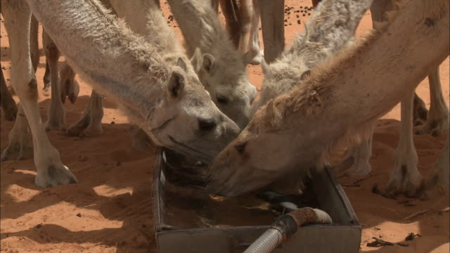 camels drinking water - thirsty stock videos & royalty-free footage