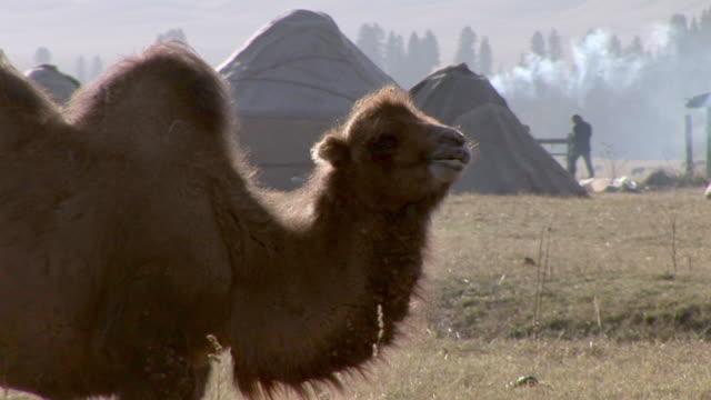 vídeos y material grabado en eventos de stock de camels eating grass in xinjiang, china - animales de trabajo