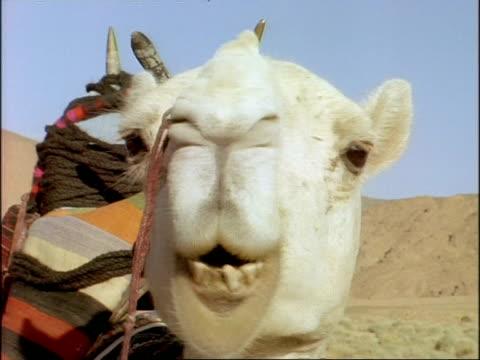 CU of camel's face chewing the cud, Algeria, Africa