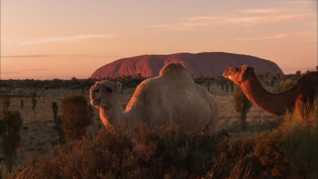 camels feeding - australia - camel stock videos and b-roll footage