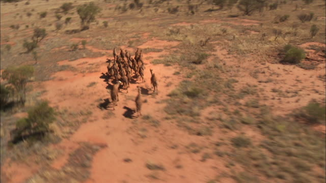 camels filmed from above - australia 02 - camel stock videos & royalty-free footage