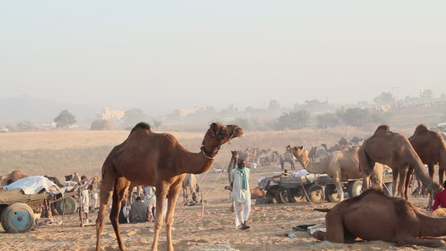 vidéos et rushes de ms camels for sale in fair / pushkar, rajasthan, india - animaux au travail