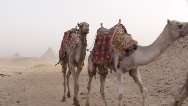 vidéos et rushes de camels, gizeh, egypte - égypte