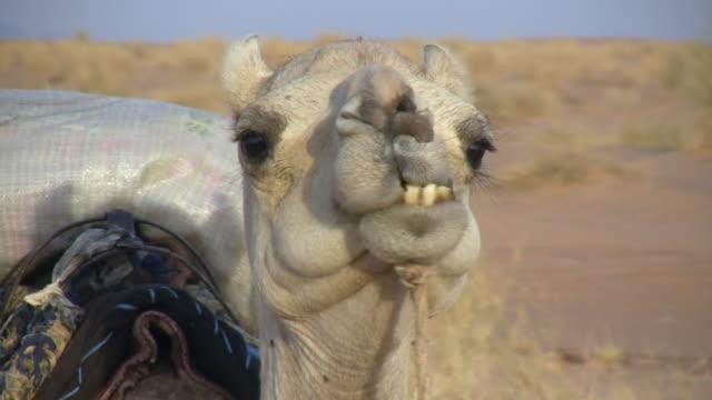 CU ZI Camels in desert / Chinghetti, Adrar, Mauritania