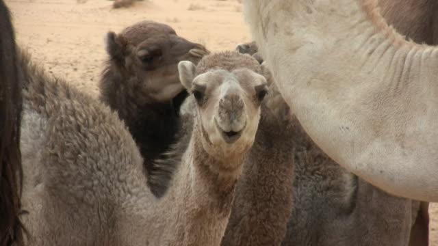 cu camels in desert / zouerat, tiris zemmour, mauritania - モーリタニア点の映像素材/bロール