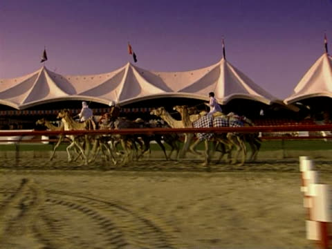 camels in dubai - camel stock videos & royalty-free footage
