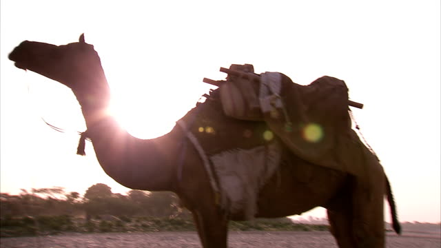 camels in front of the taj mahal at sunrise. - sattel stock-videos und b-roll-filmmaterial